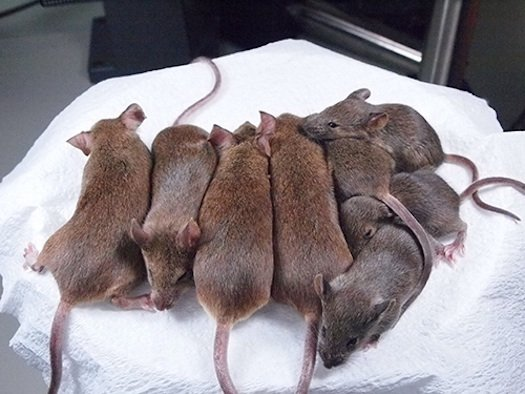 cloned-mice